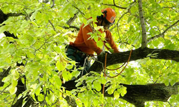 Tree Trimming in Cambridge MA Tree Trimming Services in Cambridge MA Tree Trimming Professionals in Cambridge MA Tree Services in Cambridge MA Tree Trimming Estimates in Cambridge MA Tree Trimming Quotes in Cambridge MA